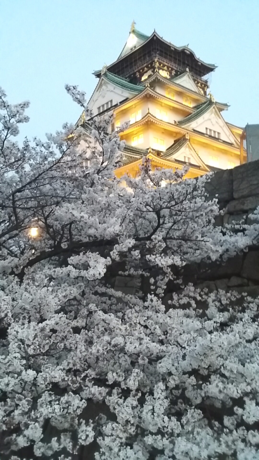 Osaka castle cherry blossoms at dusk