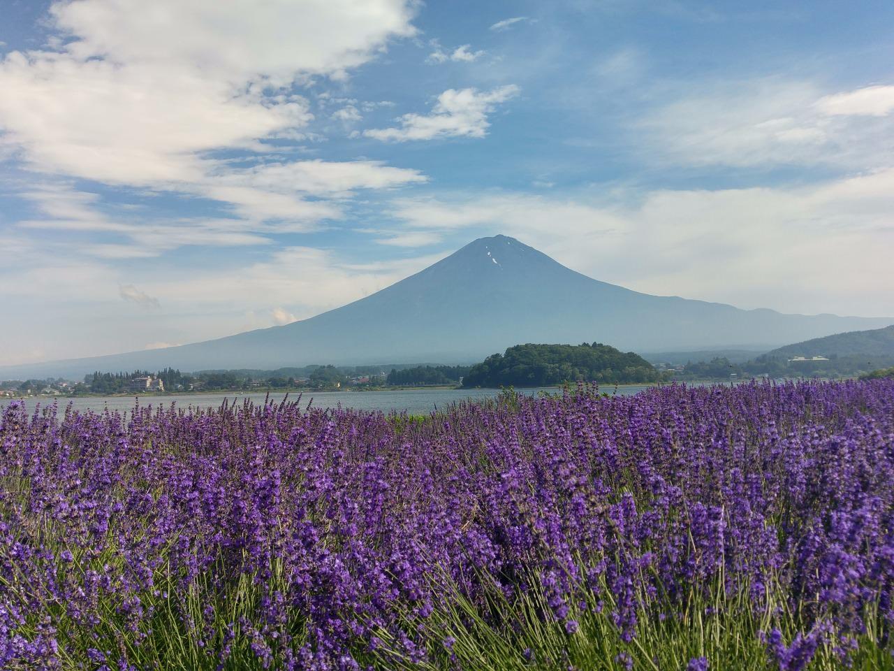 7月是河口湖大石公園薰衣草盛開的月份。沿湖畔可遙望富士山, 隨處也可拍出如畫般美的風景!