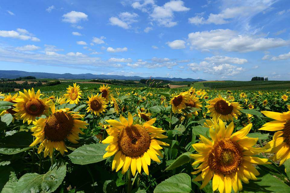 Sunflower farm with wonderful weather and the sky 
