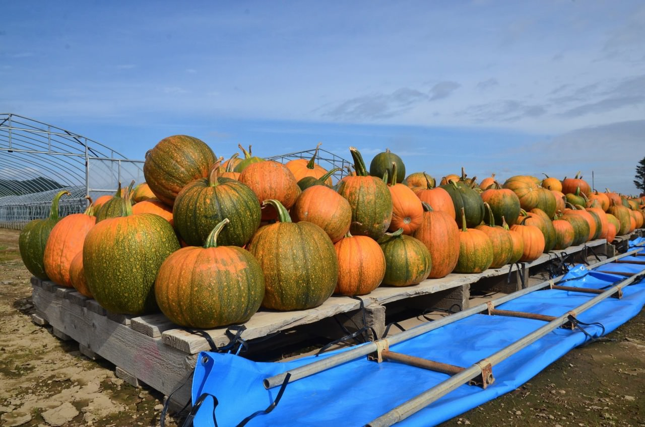 Very excited that we can stop when passing by pumpkin farm and have take photo with so many pumpkin