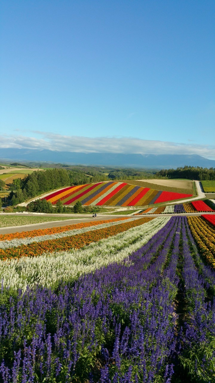 A Plethora of Colours.- Flower fields taken at 四季彩の丘 (Shikisai-no-Oka) in Biei Town, Hokkaido.