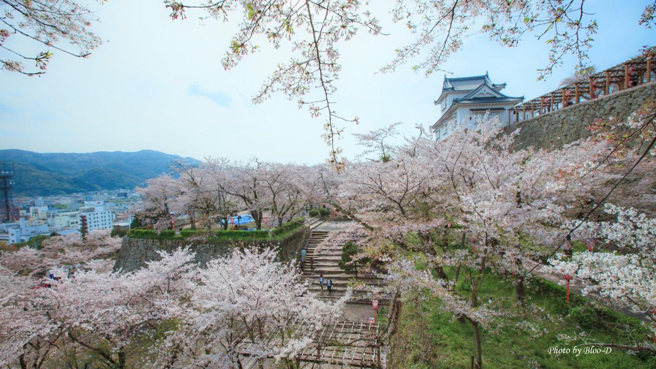 櫻花滿開的津山城,眼下盡是櫻花美景。自駕前往津山城最方便了!