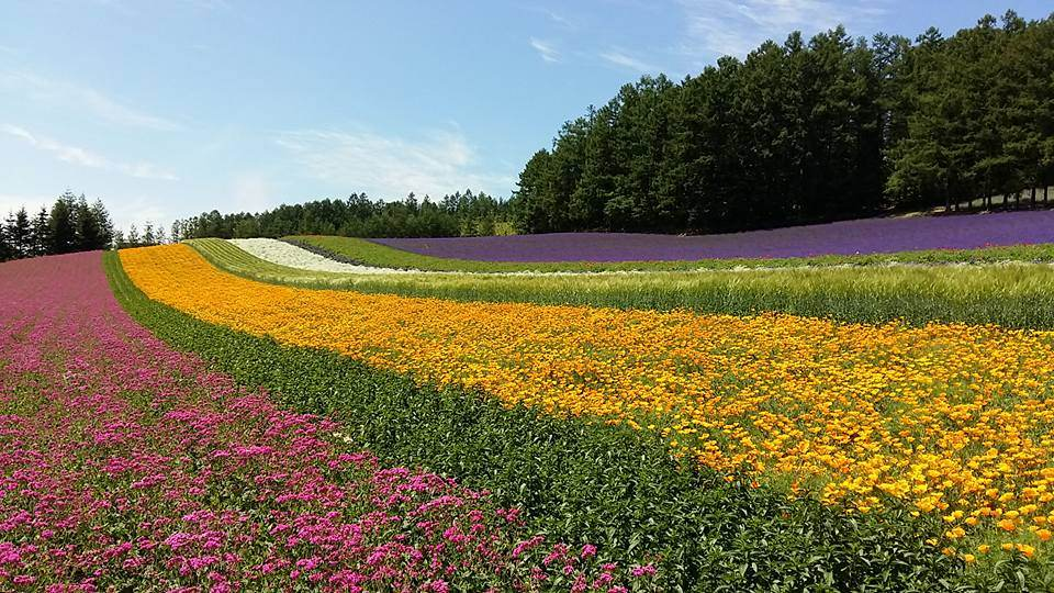 Lavender and other colorful flowers are at their best in the vast natural fields in Tomita Farm.