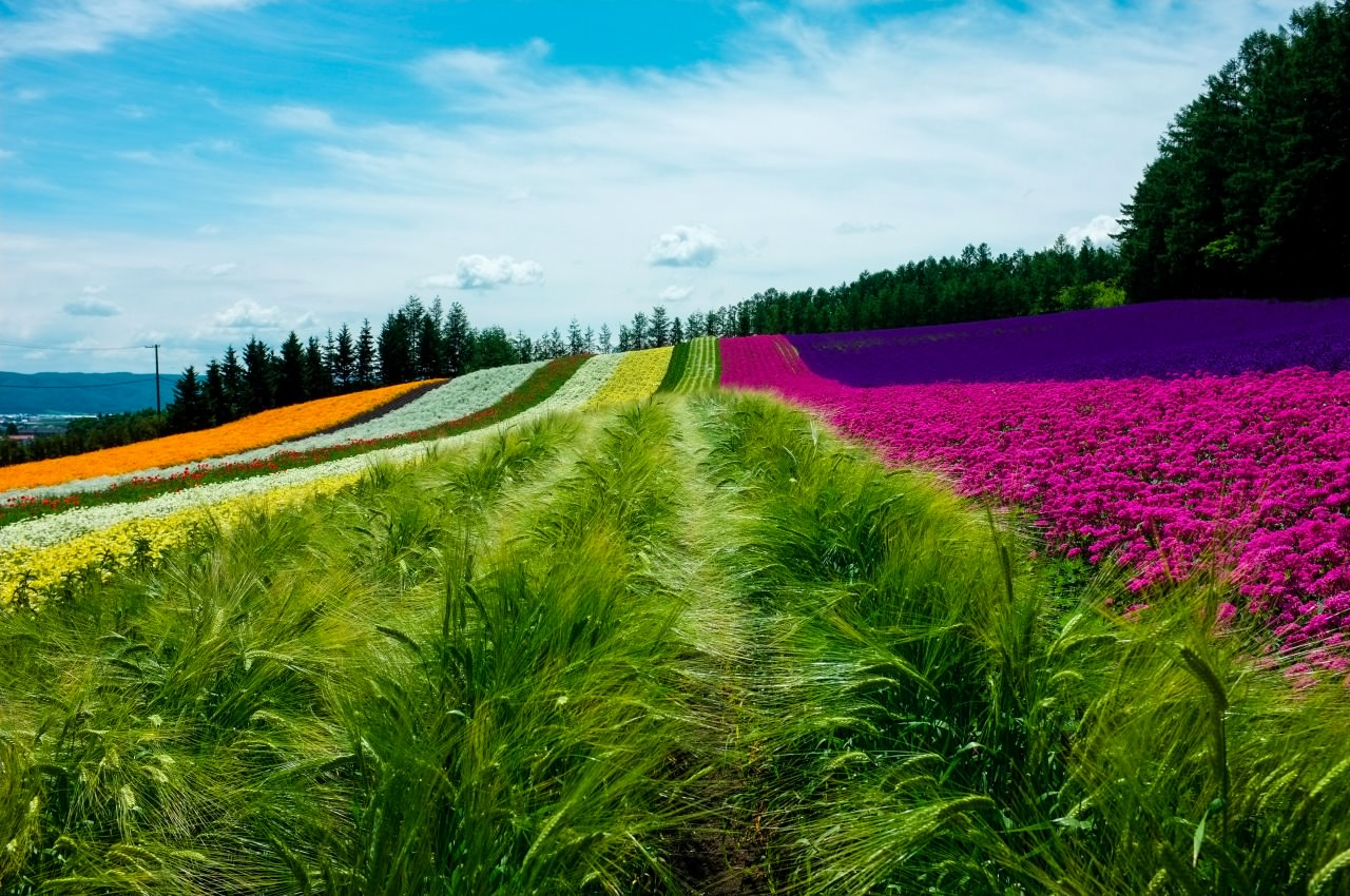 Farm Tomita,The colour of a rainbow is brought to earth on this farm.