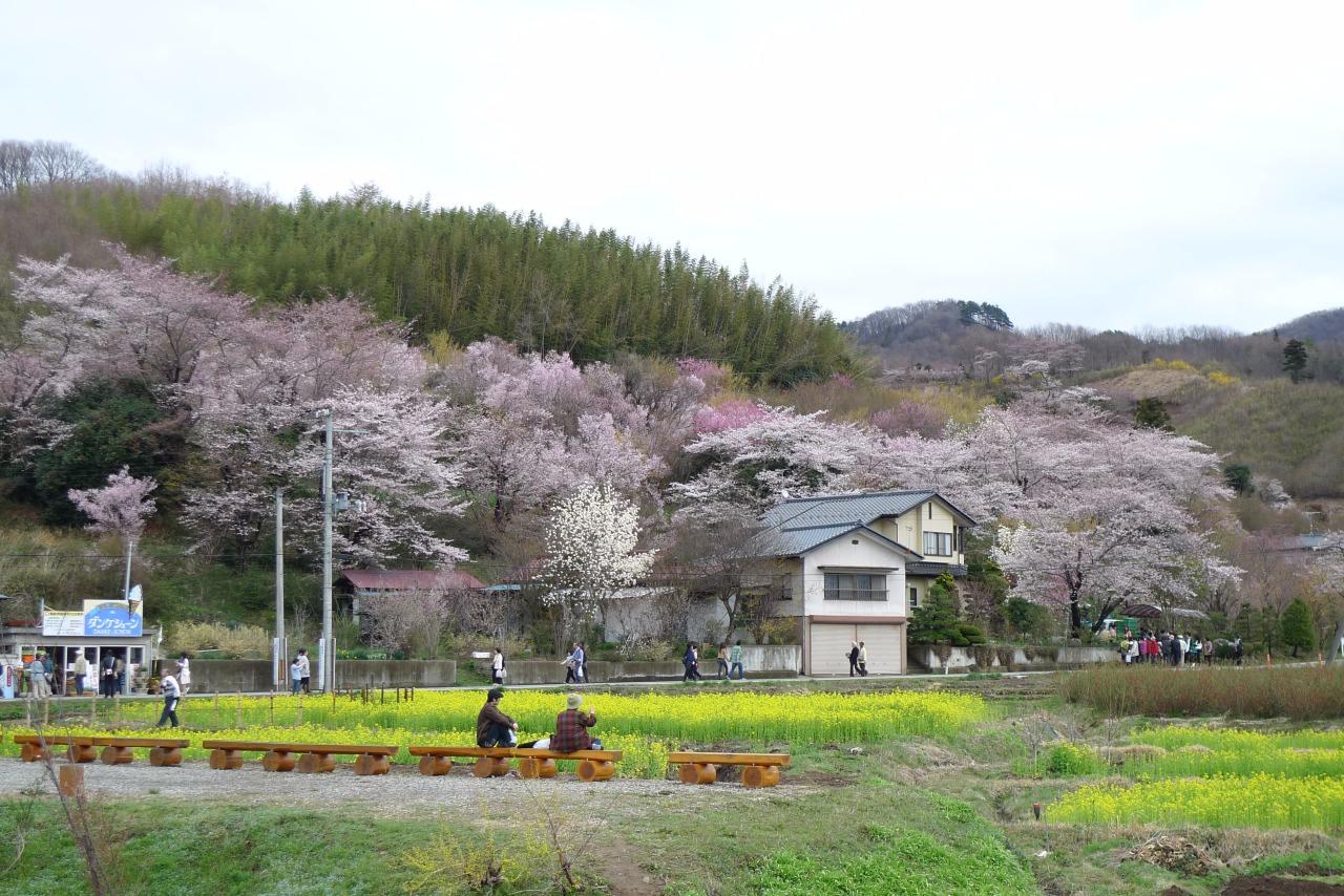 有幸於海嘯前遊覽福島花見山。當天天朗氣清, 遊人不絕。大家都被滿山遍野, 不同顏色的櫻花所淹沒, 沐浴於花海之中。