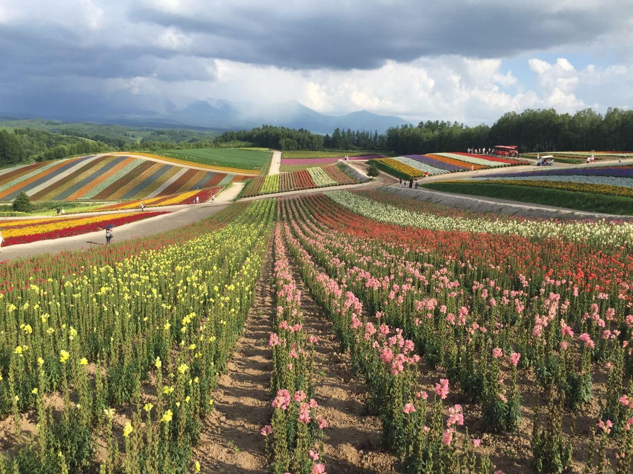 北海道夏季的花海真是嬌艷璀璨!