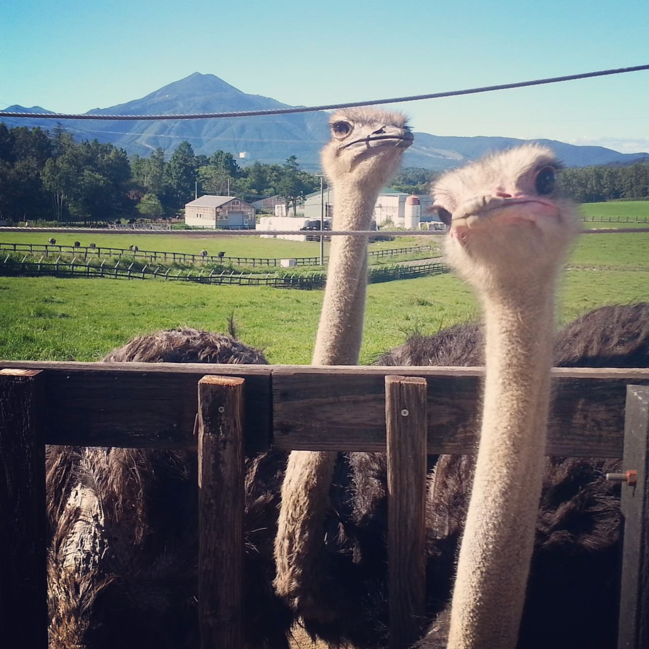 The ostriches run wild at the fields with the  amazing mountains backdrop