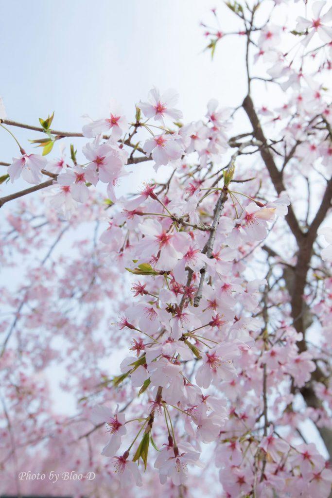 盛開的櫻花,有誰不喜歡?