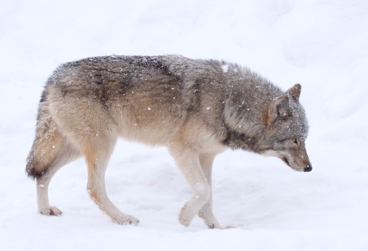 A wolf paces in the stunning snow, while we look on in amazement.