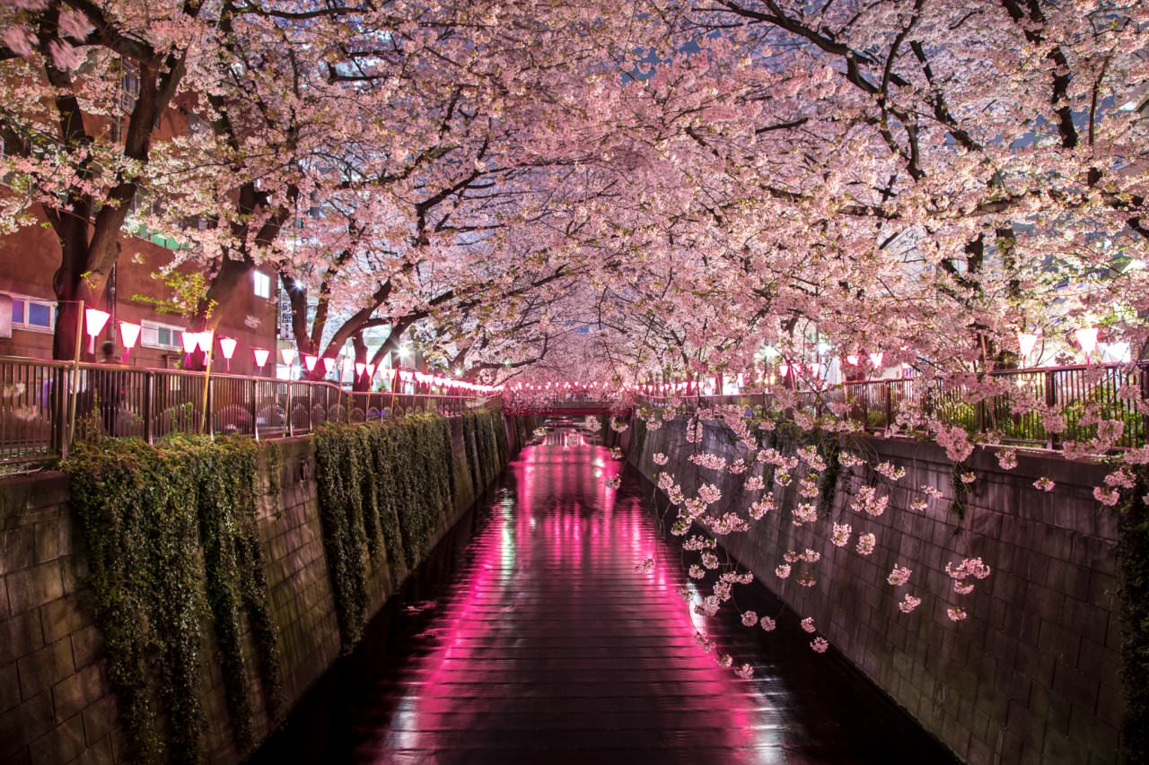 One of my favourite locations to view Sakura in Japan