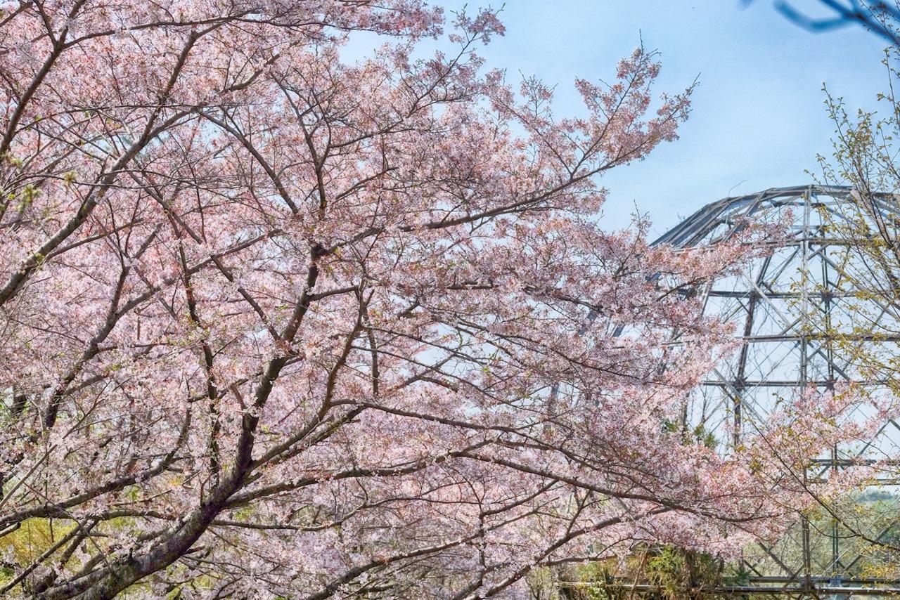 在尋找龍貓的足跡時,四周竟被粉紅的櫻花包圍著