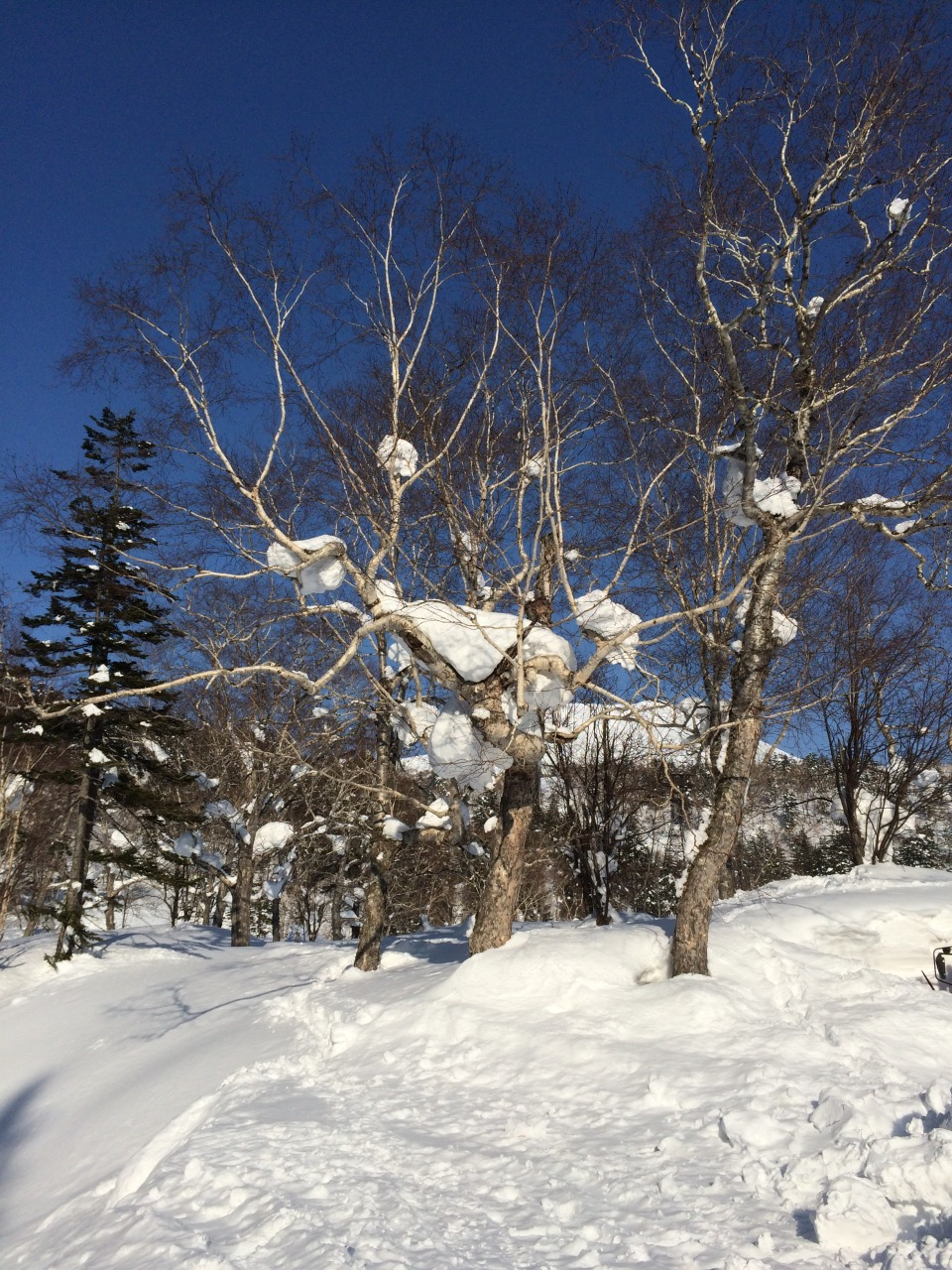 Trees After Heavy Snow Fall