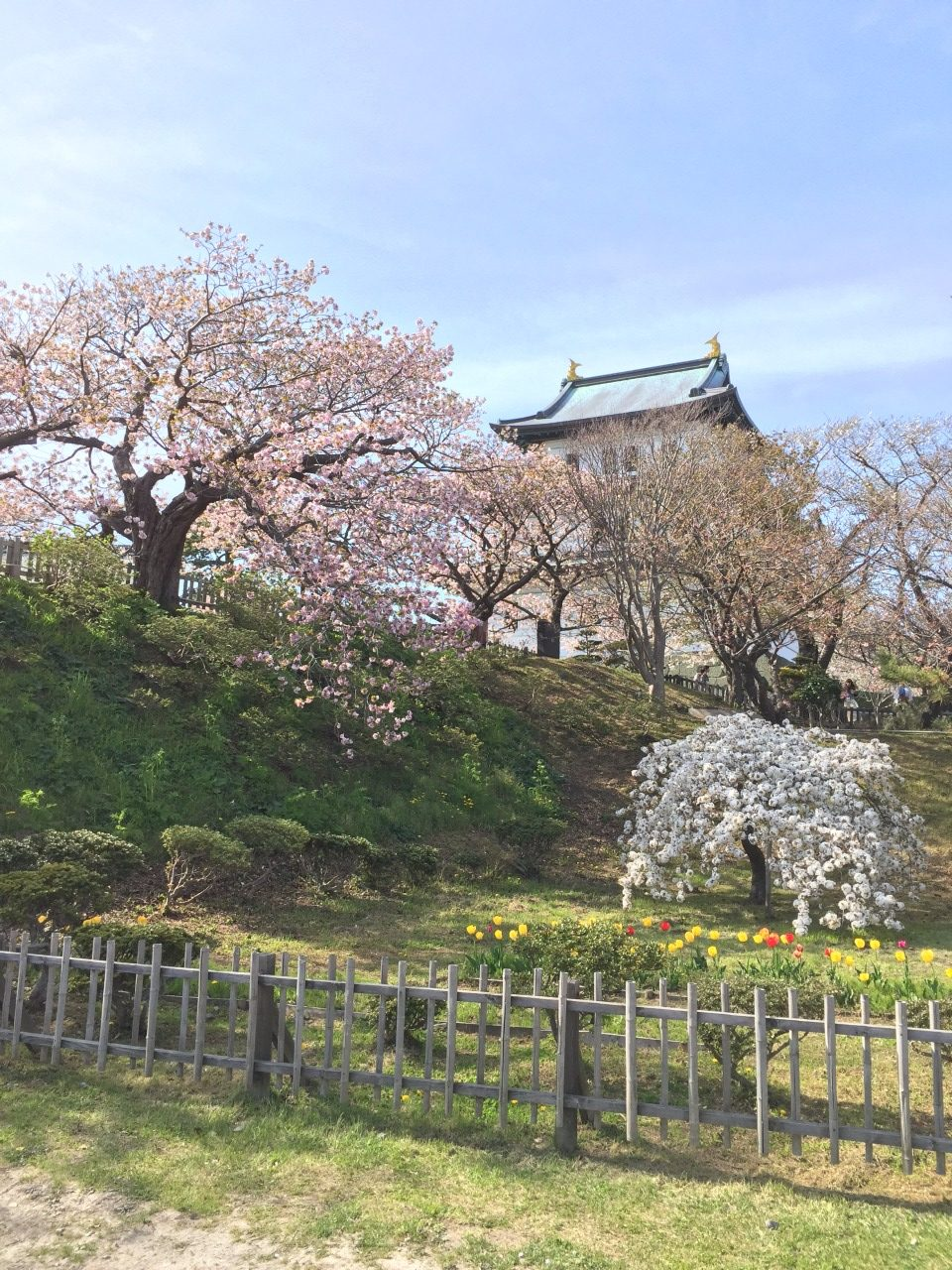 Cherry blossoms in full bloom at Matsumae Castle