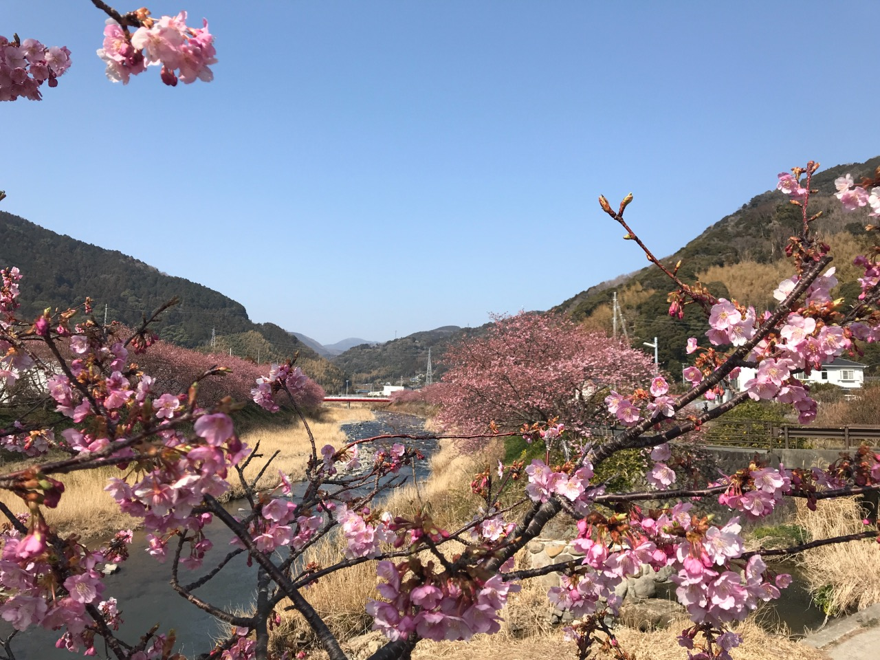 Kawazu Cherry Blossoms