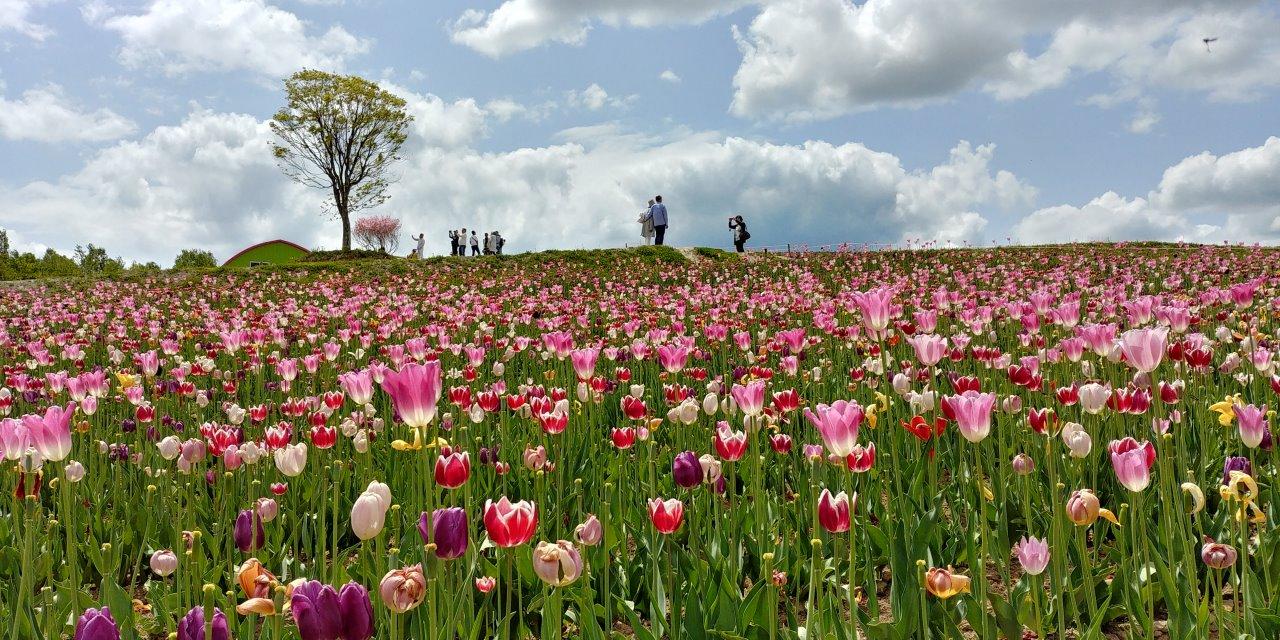 陽光明媚的花田,盛況的鬱金香,令人流連忘返。