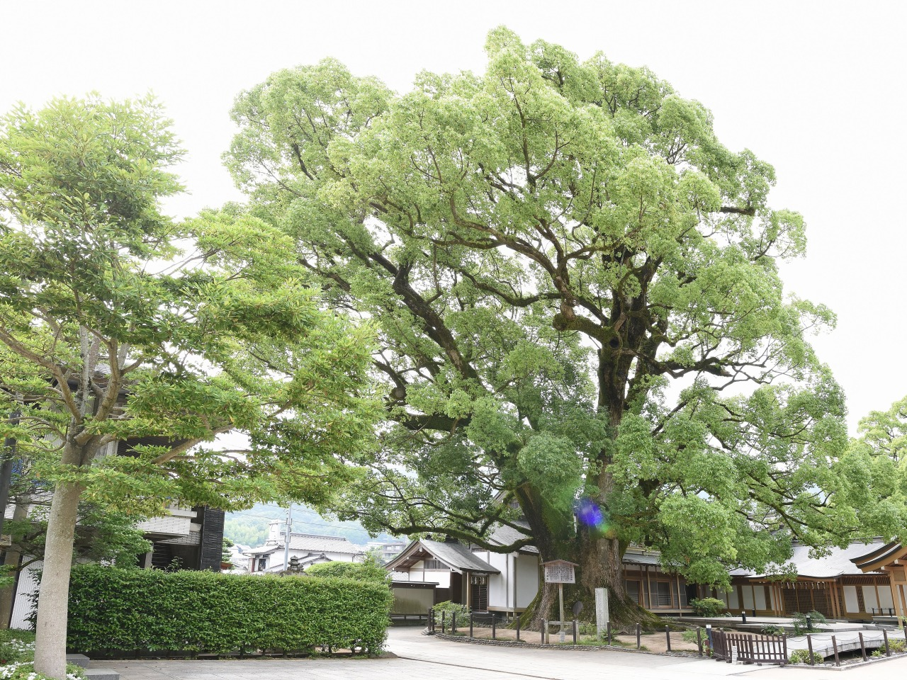 A big camphor tree in  the compound.