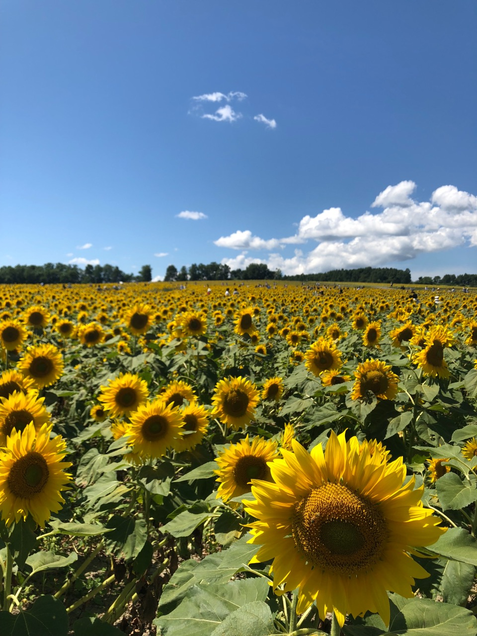 Huge field with unending sunflowers! Sunflower seed soft serve icecream is very yummy!